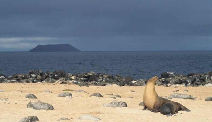 Die Galapagosinseln: Galapagos sea lion nursing, Galápagos Islands, Ecuador - nursery with a view